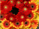 Visit the flower castle festooned with Gerberas and Germinis.